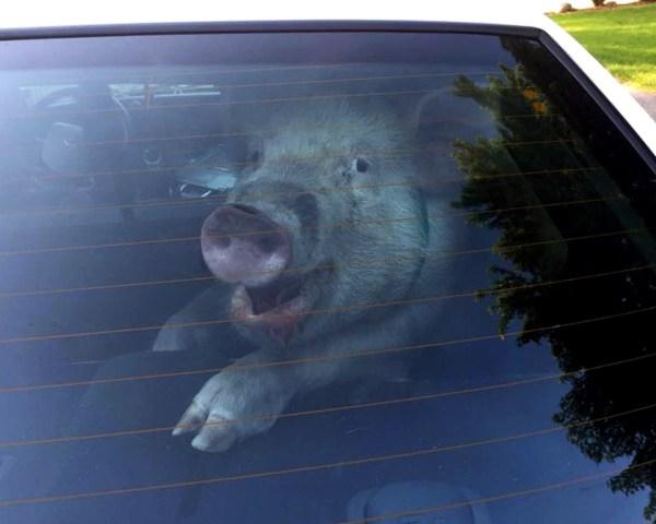 ODD Stray Pig Captured_4465