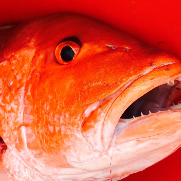 Red Snapper_10896