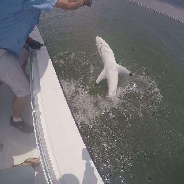 ADSFR Shark_31299