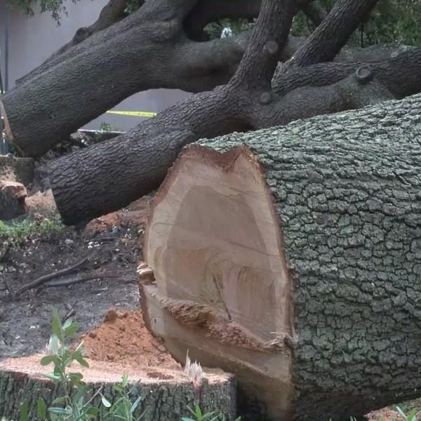 TREE DOWN_24498