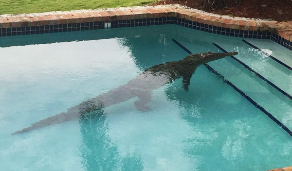 crocodile in pool_143213