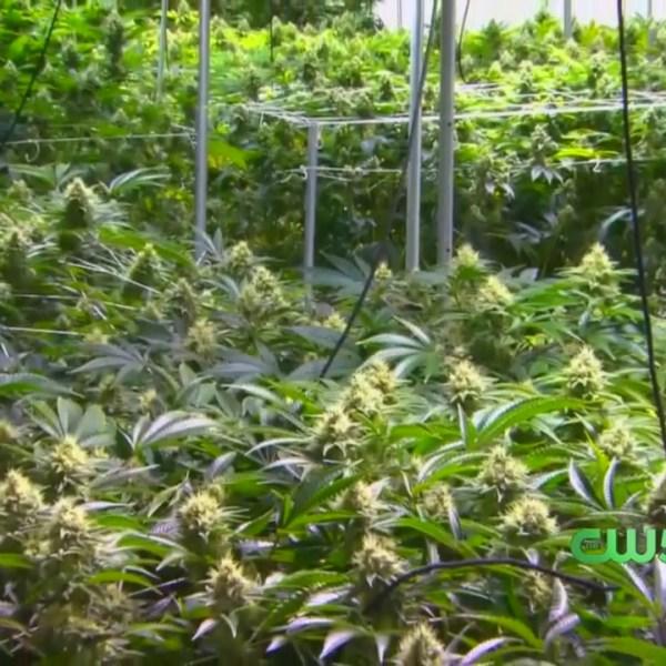 Fed Government Strikes Down Medical Marijuana
