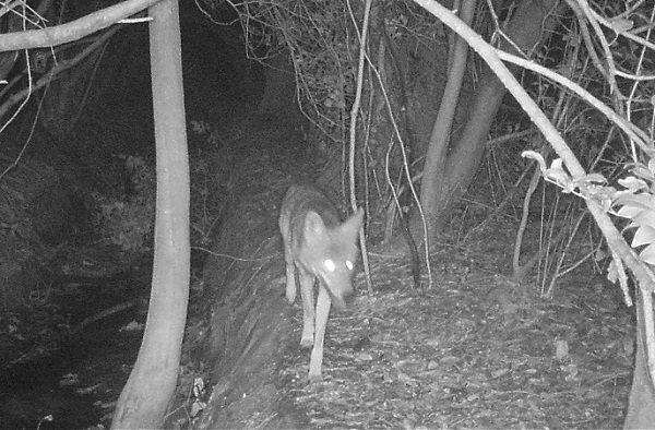 Coyote Caught on Camera_413974