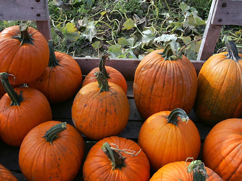 pumpkins_423885