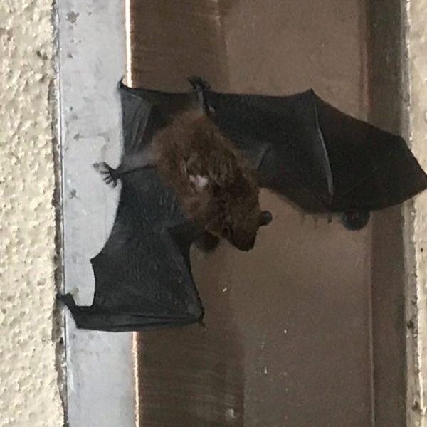bat_437350