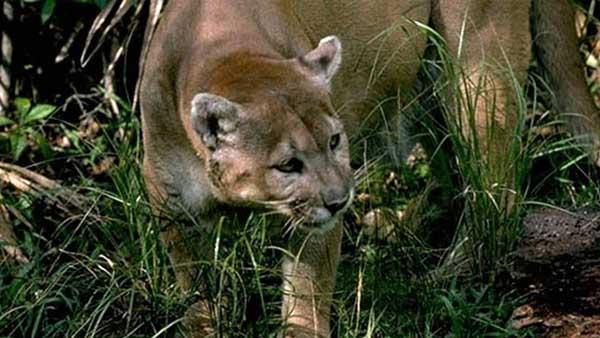 florida panther cbs 46_374201