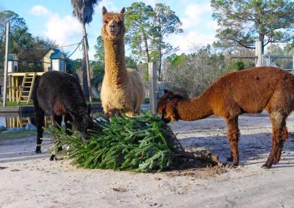 Alabama Gulf Coast Zoo christmas trees_469389