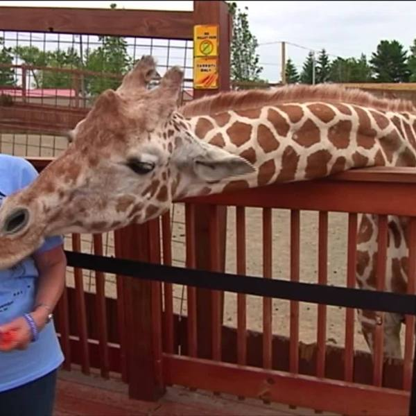 Could internet star April the giraffe be pregnant again?