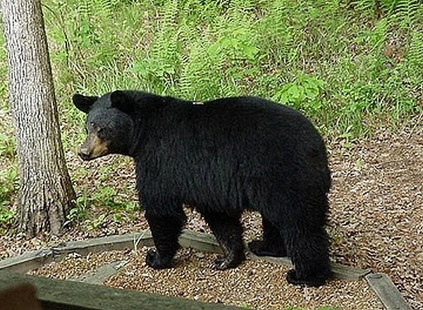 BLACK BEAR_21775