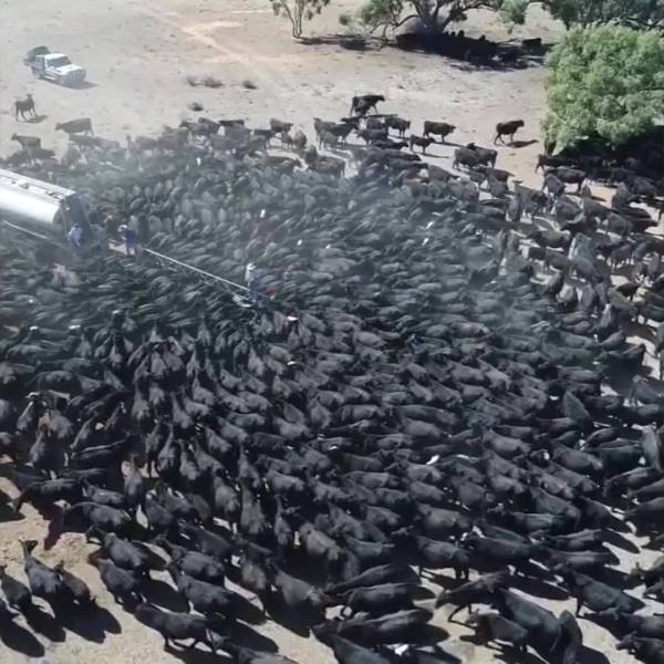 Thirsty cows mob water truck