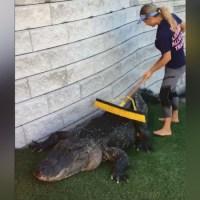 alligator scratch_1533936507627.jpg.jpg