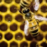 Europe_Bees_84256-159532.jpg45025550