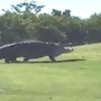 WATCH: Monster gator spotted again on Palmetto golf course