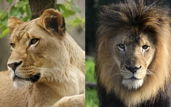 lions together_1539978720464.jpg-873774424-873774424.jpg