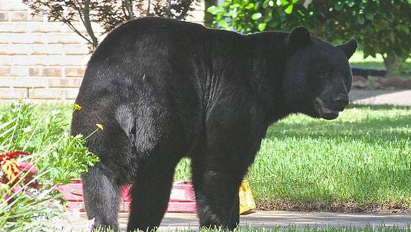 r-florida-black-bear-fwc-1_259383-846652698