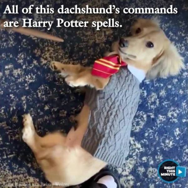 Right This Minute Snackable: Adorable Pup Knows His Harry Potter Spells!