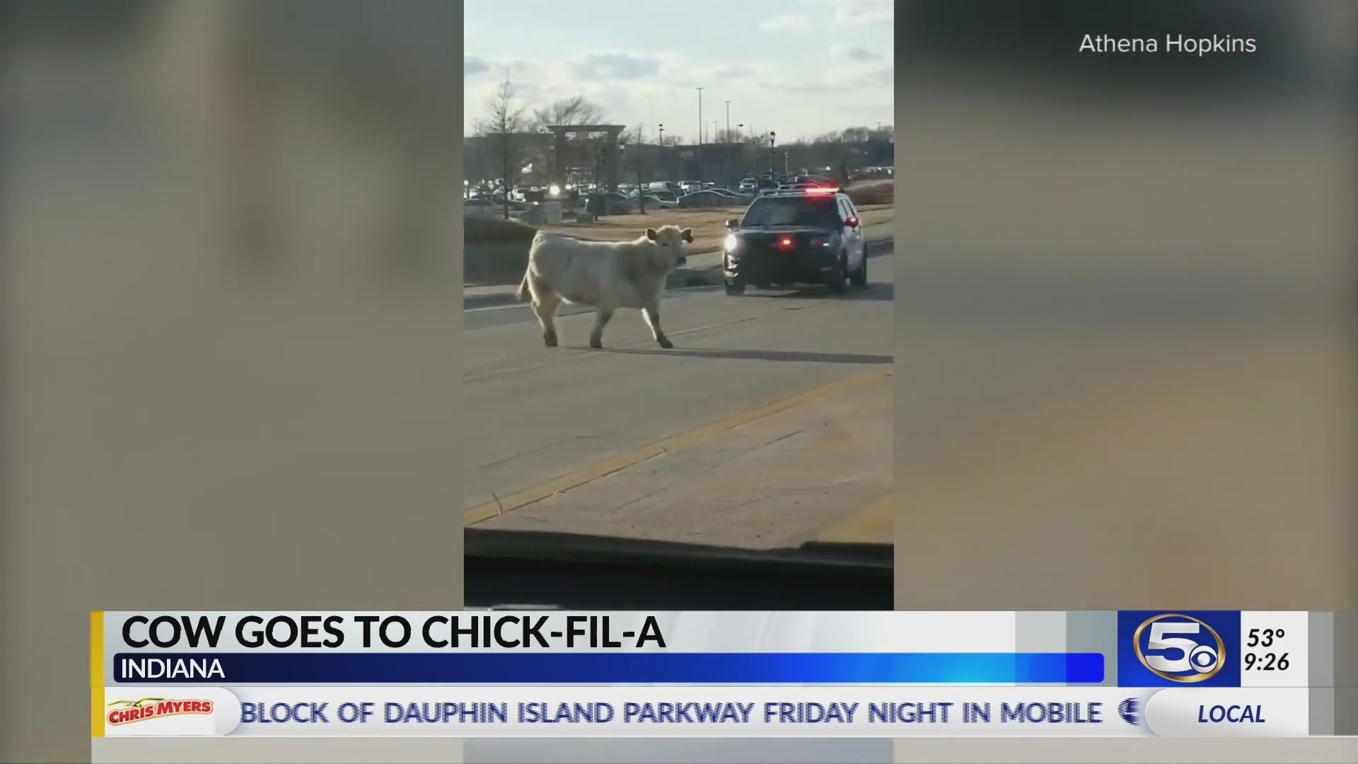 Cow on the run heads to Chick-Fil-A