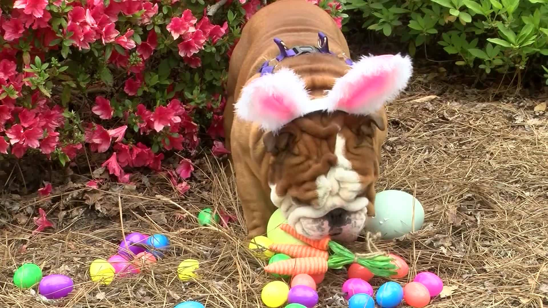 VIDEO: Bulldog named Cadbury's newest 'bunny'