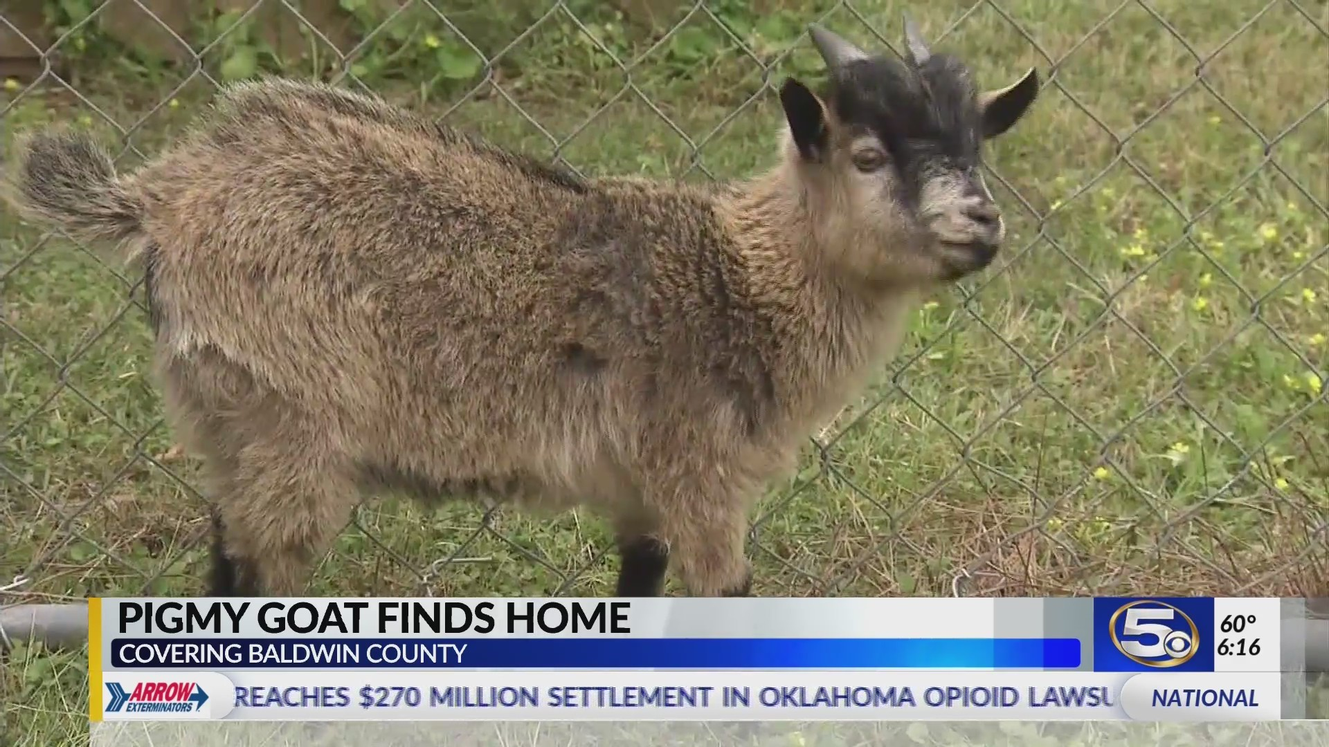 VIDEO: Happy ending for wandering pygmy goat