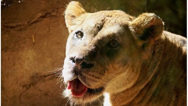 John ball zoo lion 2 bakari 040219_1554217584920.jpg_80285097_ver1.0_640_360_1554238687100.jpg.jpg