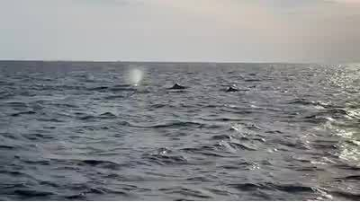 Whales south of Dauphin Island