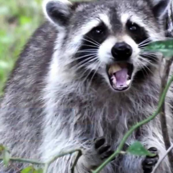 Florida_man_accused_of_setting_raccoon_o_0_20180818173401