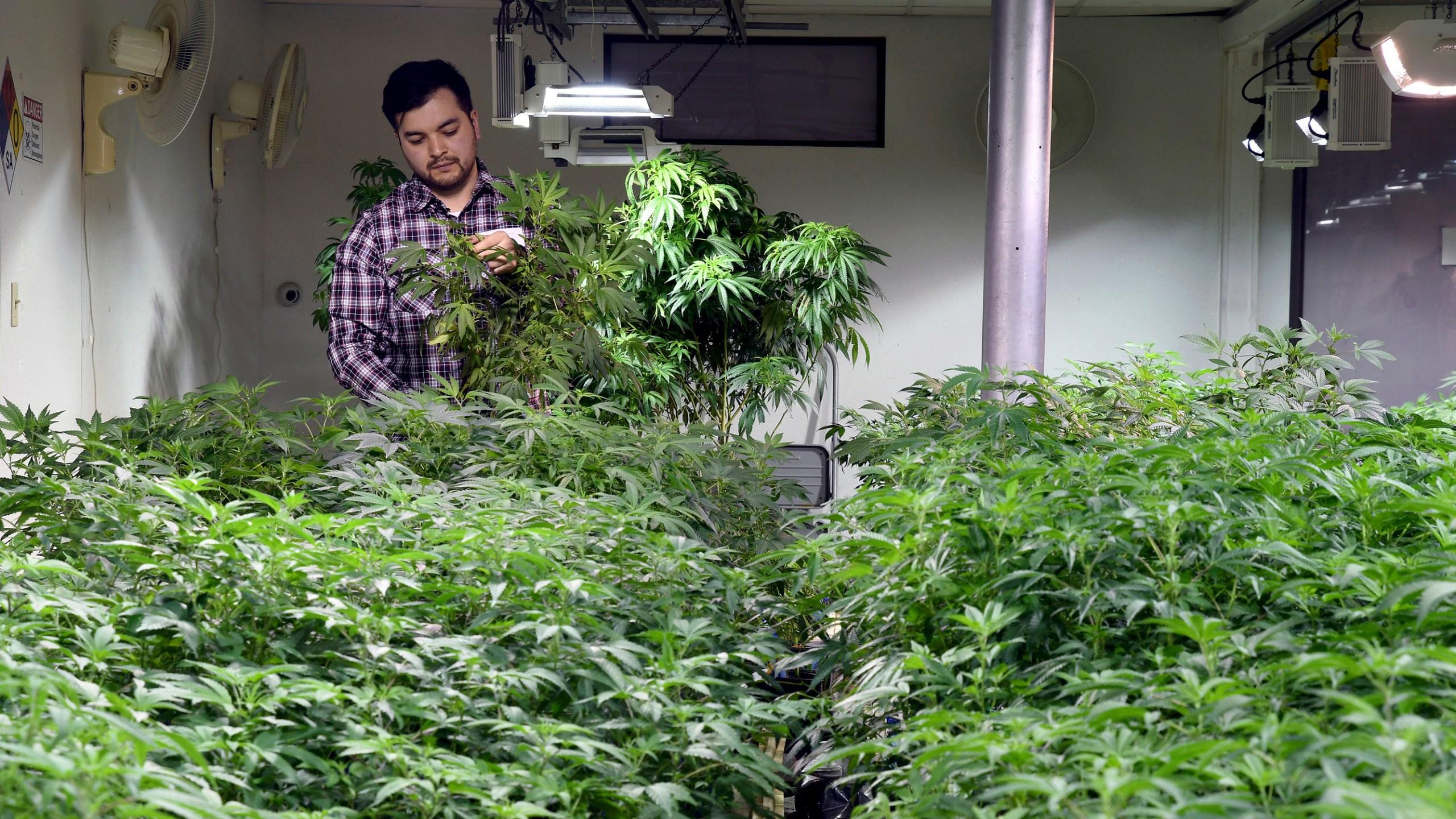 Legal_Marijuana_Citizenship_Denials_37832-159532.jpg08880154