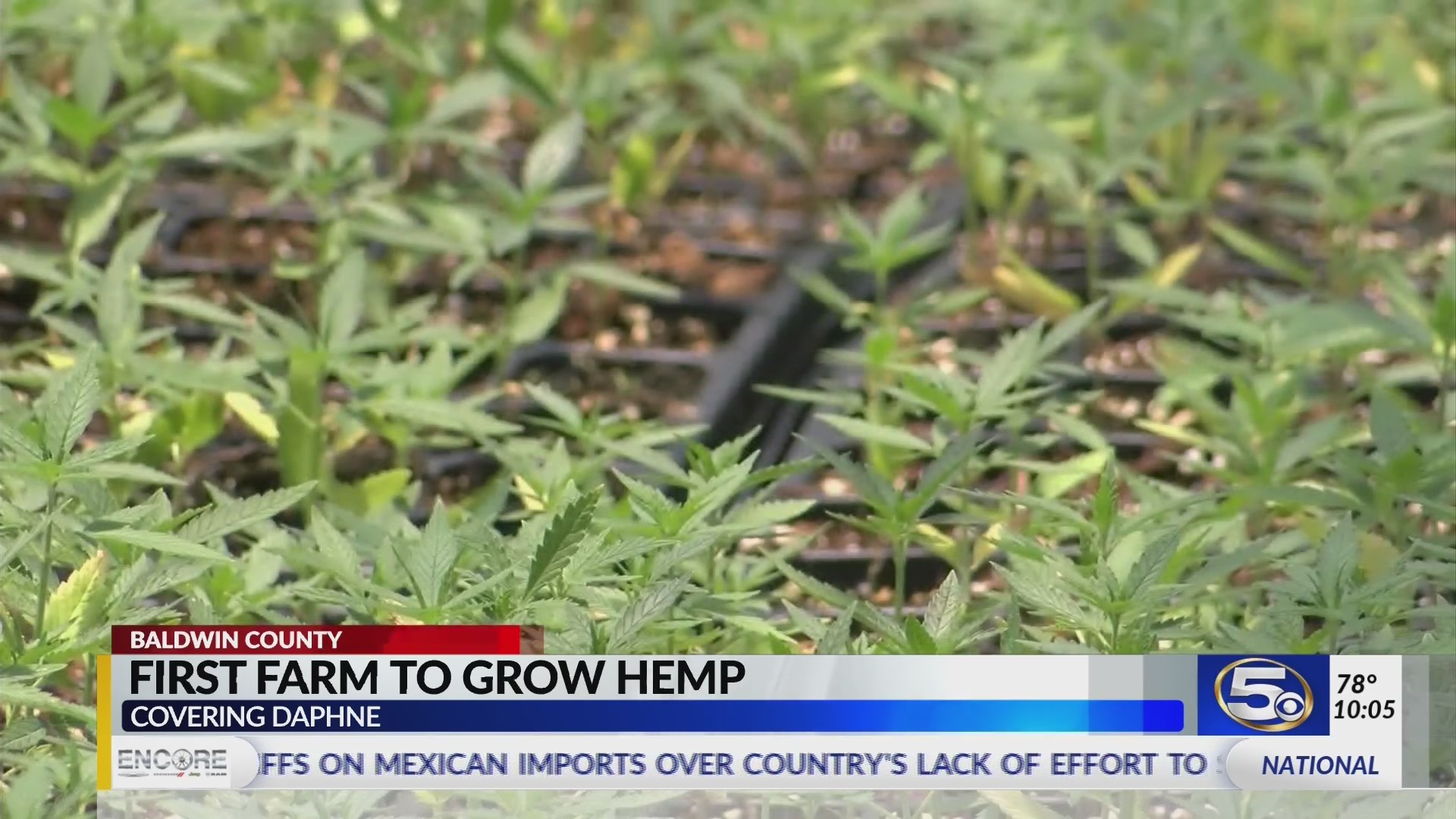 "VIDEO: Hemp farming in Baldwin County, pioneers ""cautiously optimistic"""