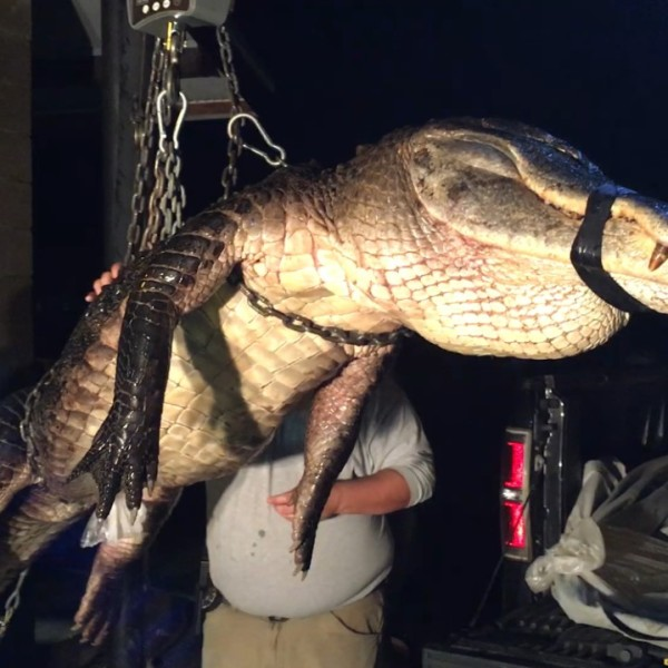 Alabama Alligator Hunting Season_232318