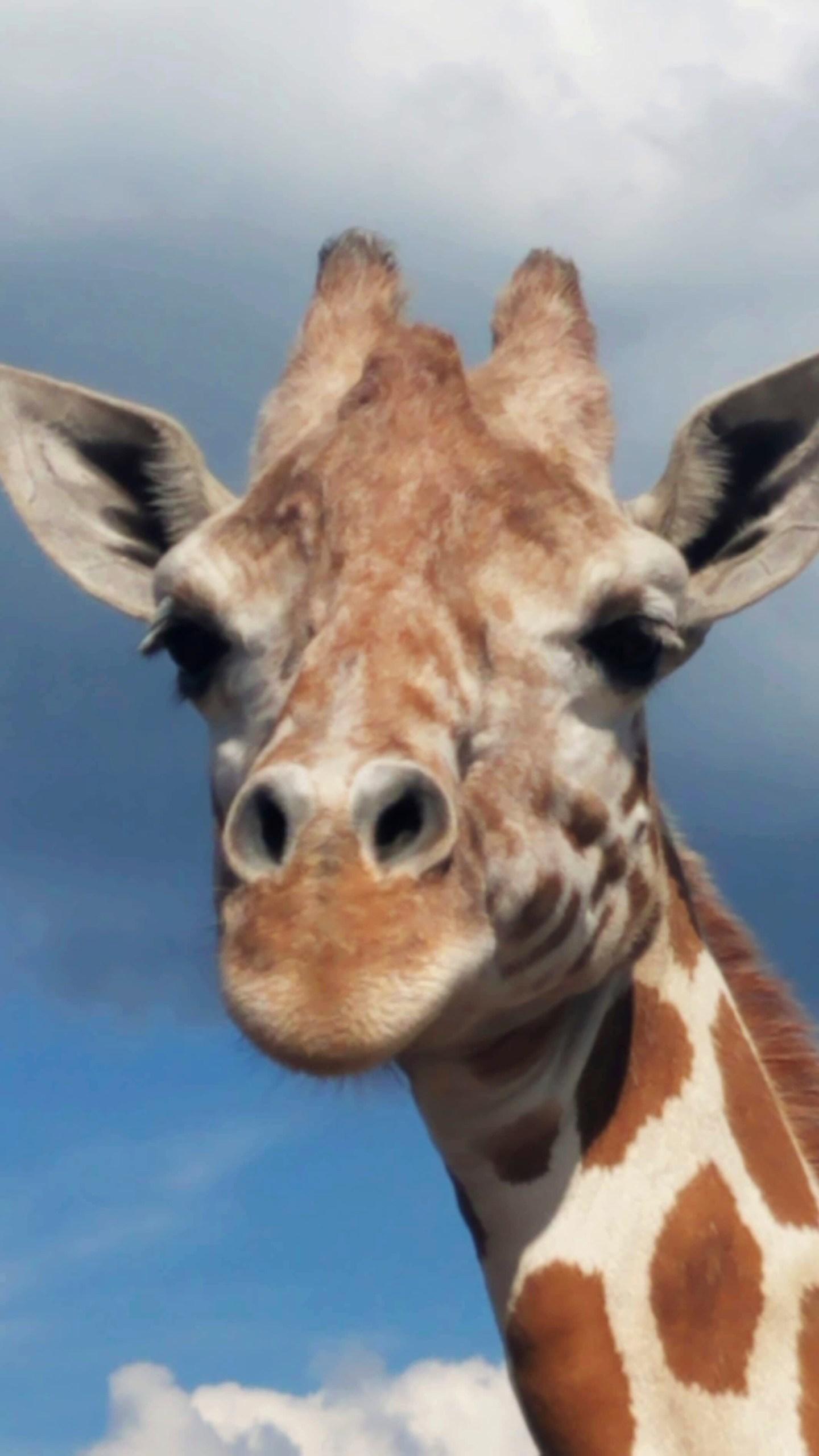 April_the_Giraffe_09023-159532.jpg29199223