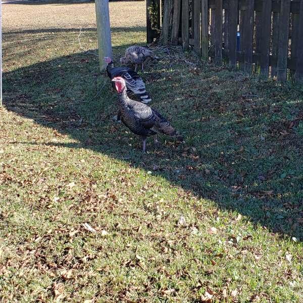 Turkeys spotted roaming around Bellengrath Road after Thanksgiving