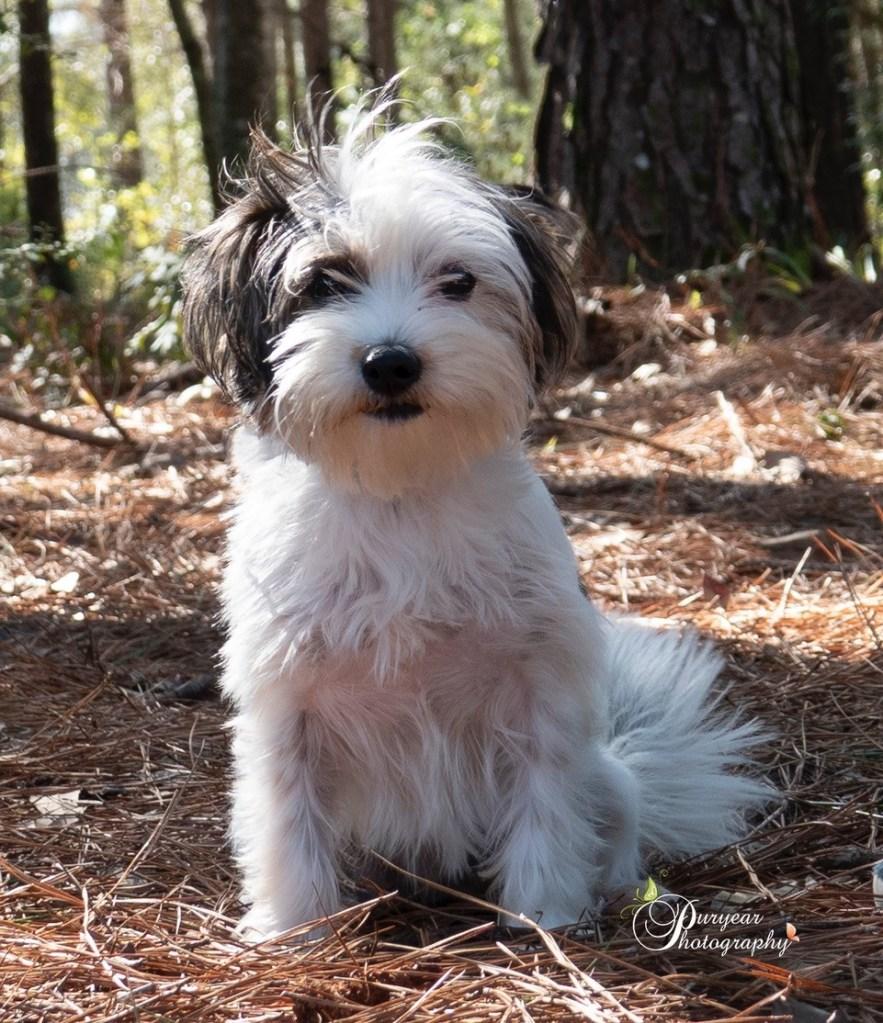 Pet Of The Week Shih Tzu Mix Puppy Charlene Wkrg News 5