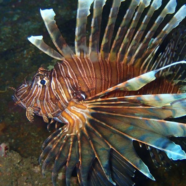 Local divers win Lionfish Harvest challenge, invasive fish population shrinking