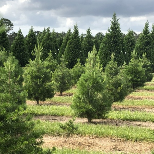 No shortage of Christmas trees in Baldwin County